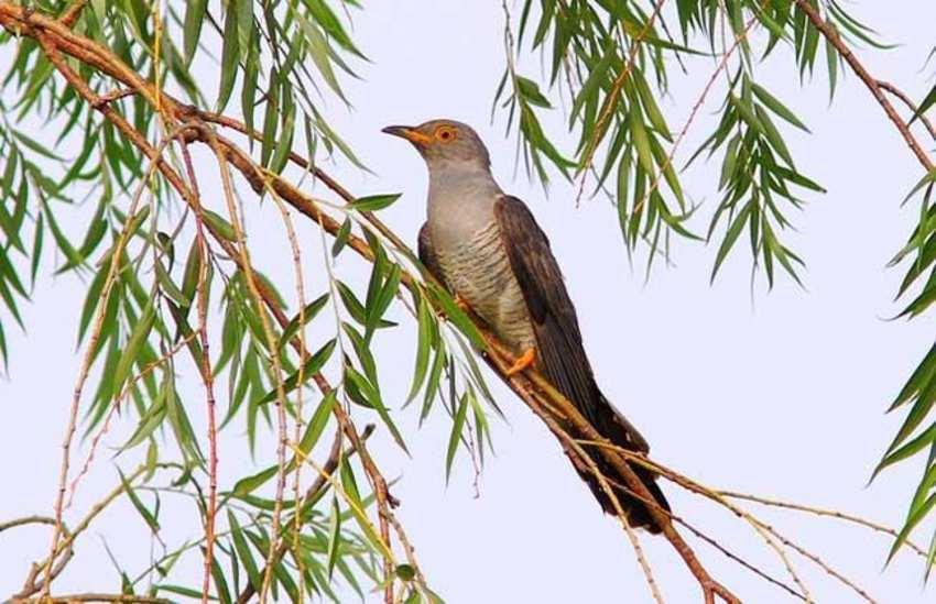 子规是什么鸟_杨花落尽子规啼中的子规指的是什么鸟